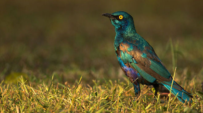 Lesser-Blue-eared-Starling-660x366